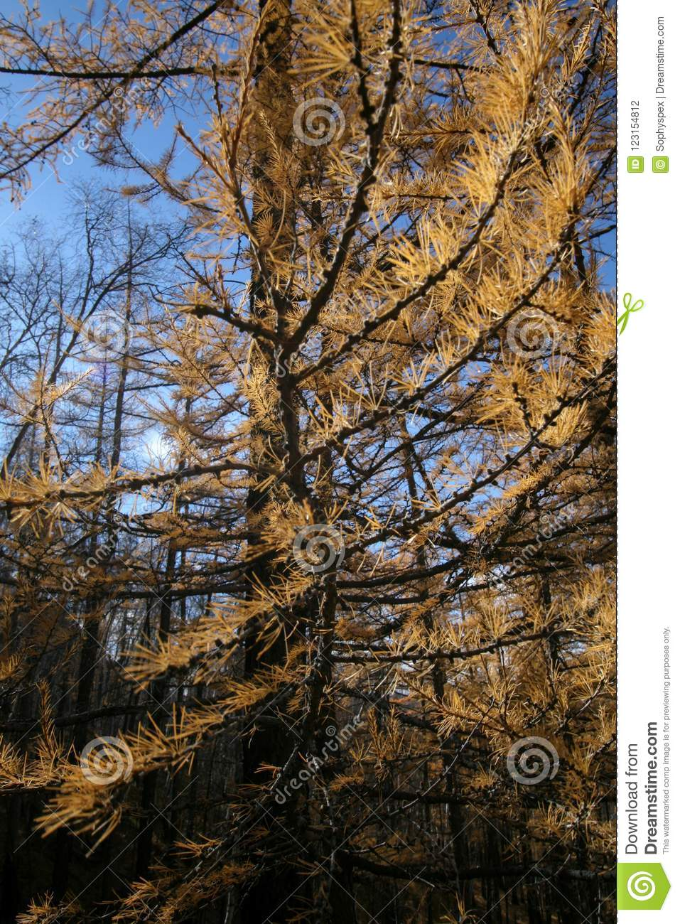 Dry yellow trees in national park, Mongolia