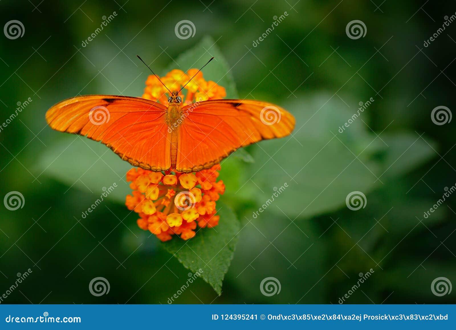 Dryas iulia, Przeliterowany Julia heliconian, w natury siedlisku Ładny insekt od Costa Rica w zielonym lasowym Pomarańczowym moty