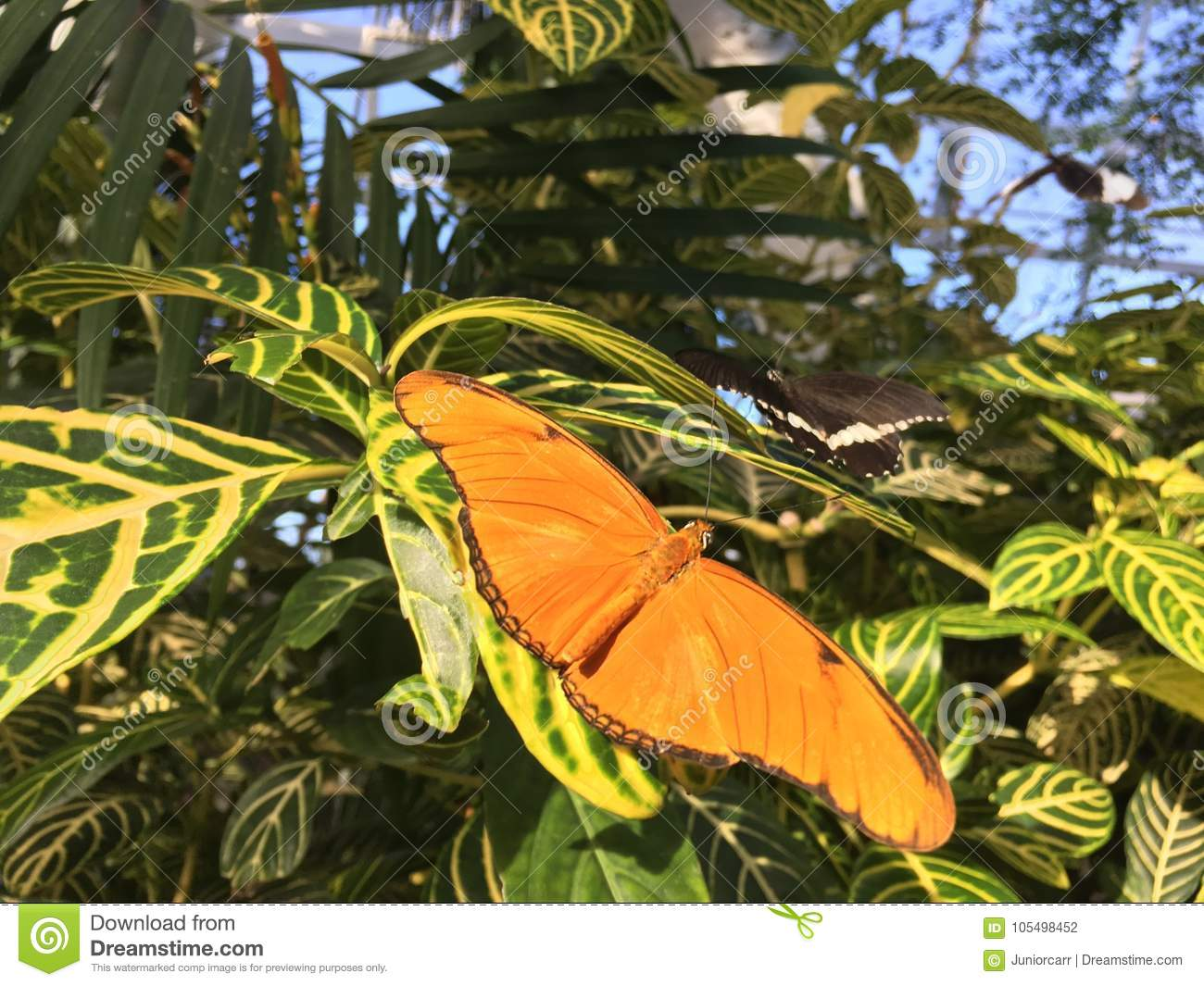 Dryas Julia Butterfly on green leaves