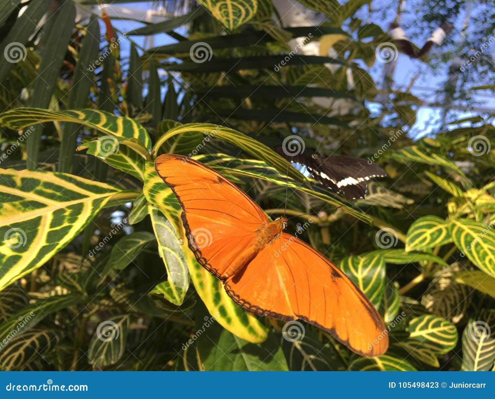 Dryas Julia Butterfly på gröna sidor