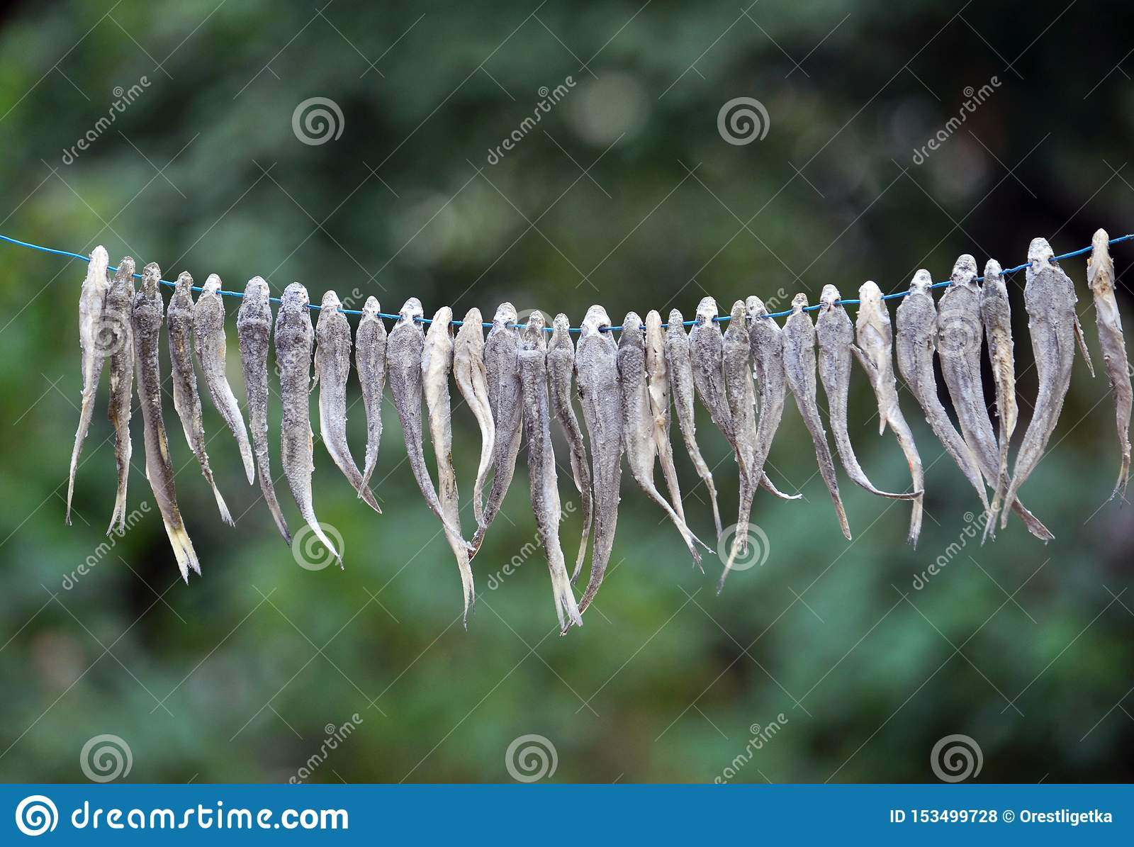 Drying of small fish on a cord