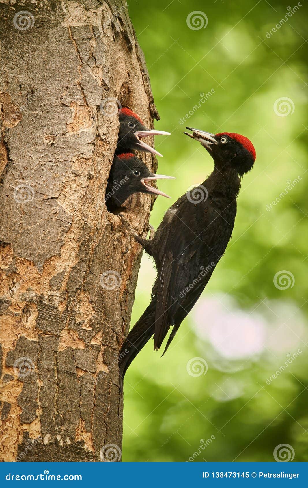与两个年轻人的黑啄木鸟Dryocopus martius在巢孔 从捷克森林的野生生物场面