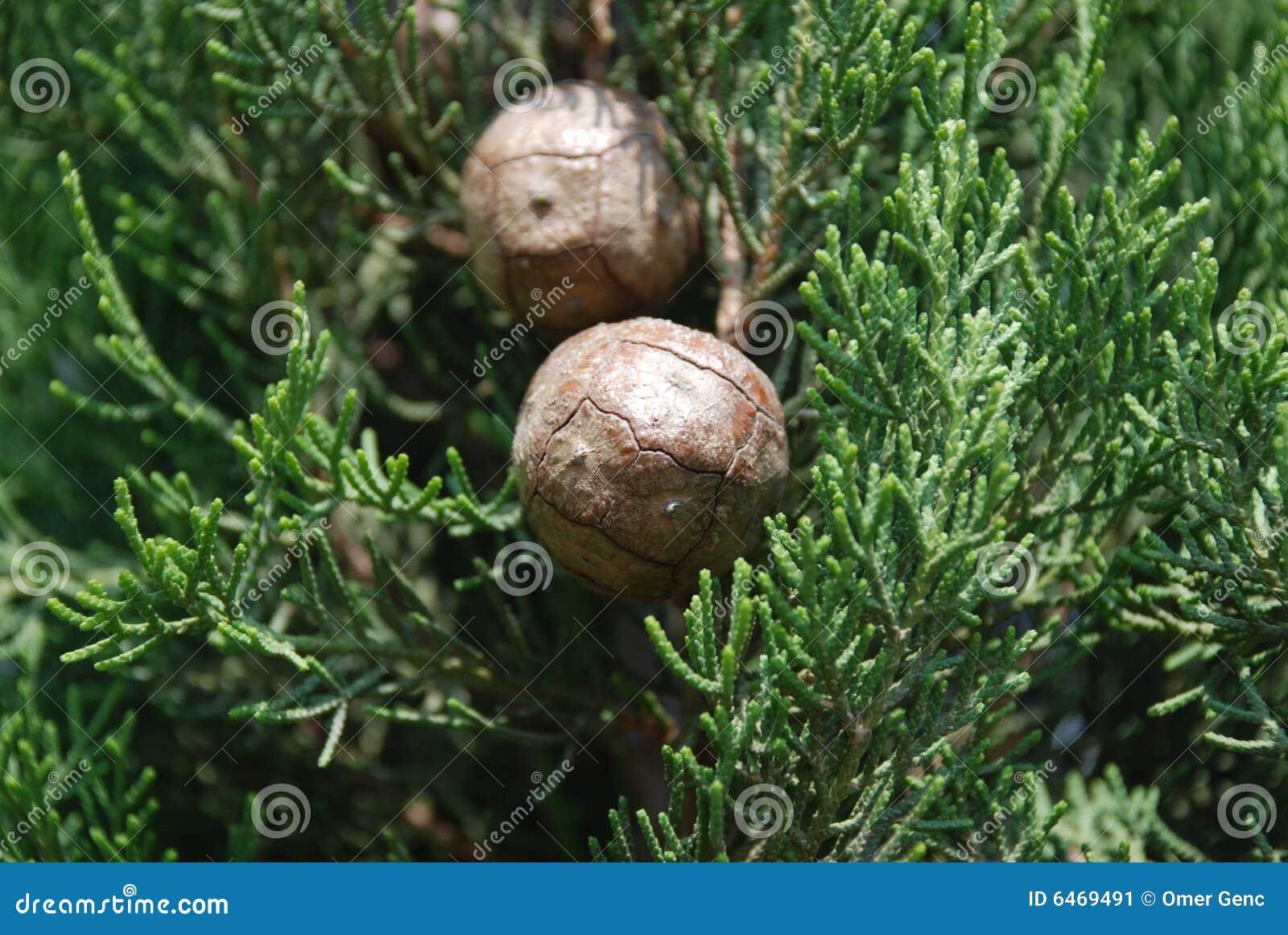 Drzew iglastych cyprysowi