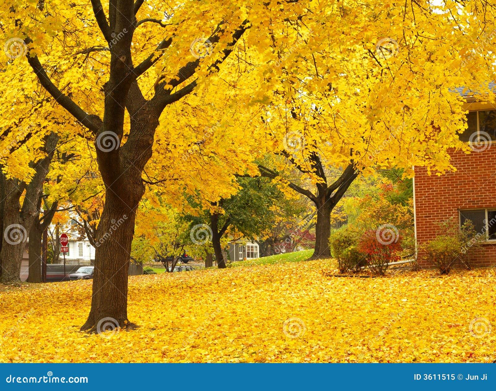 Drzewa klonowego kształtuje powierzchnię żółty