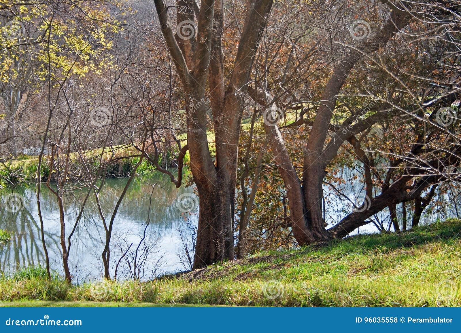 DRZEWA OBOK WODNEGO strumienia W parku