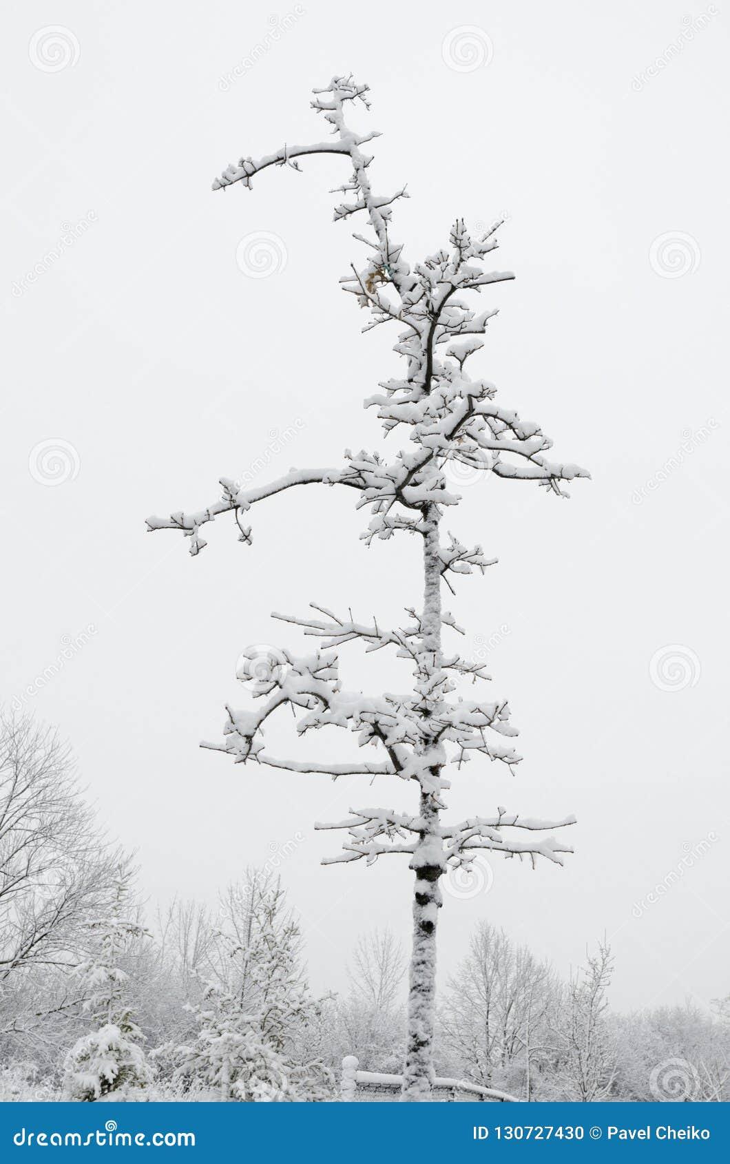Drzewa w pełni zakrywający śniegiem