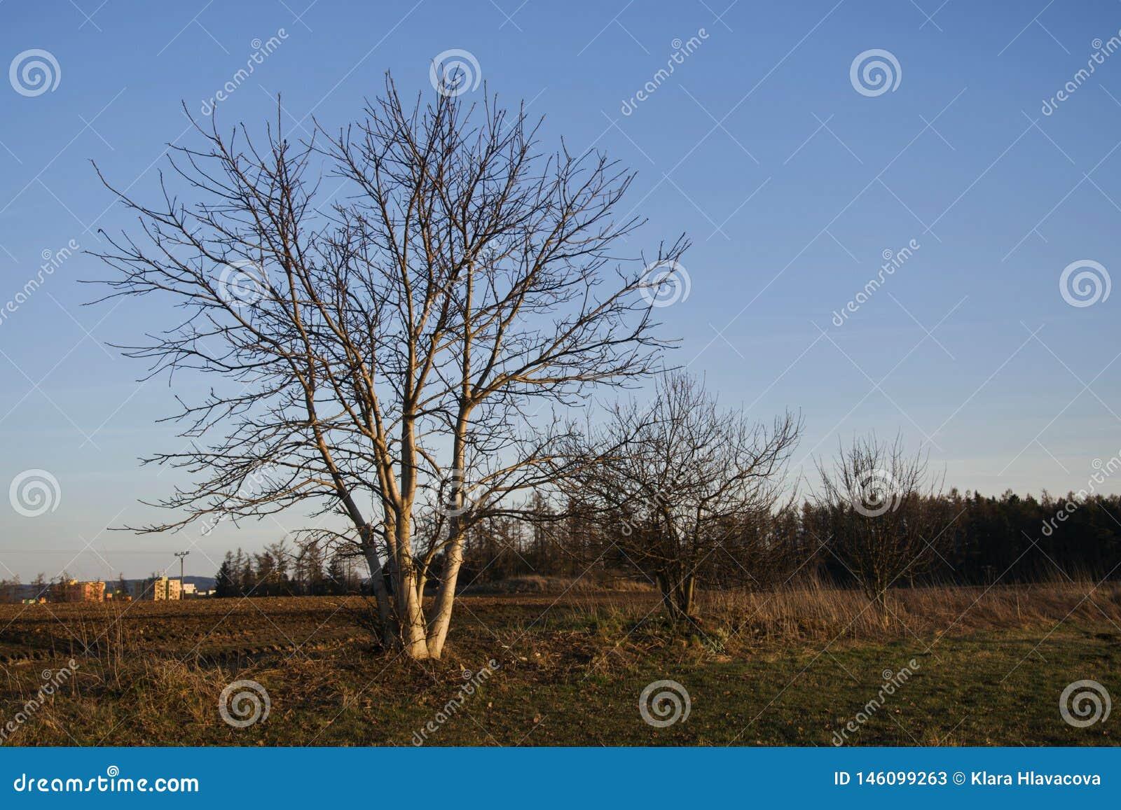 Drzewa w polu przy zmierzchem