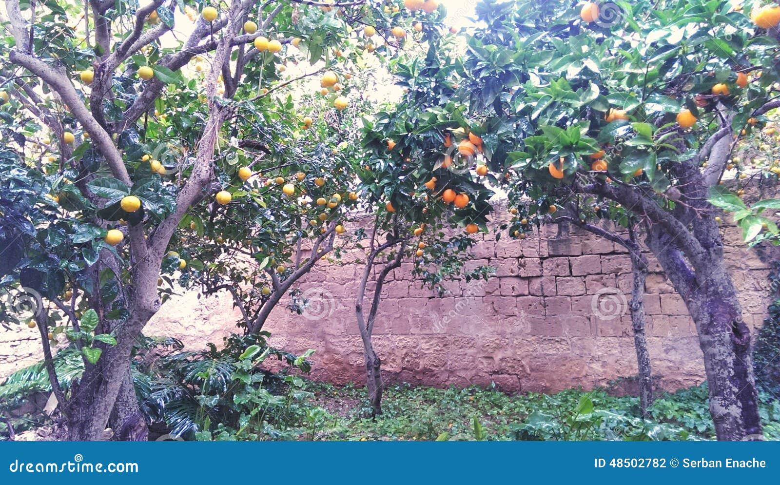 Drzewa w pomarańczowym sadzie