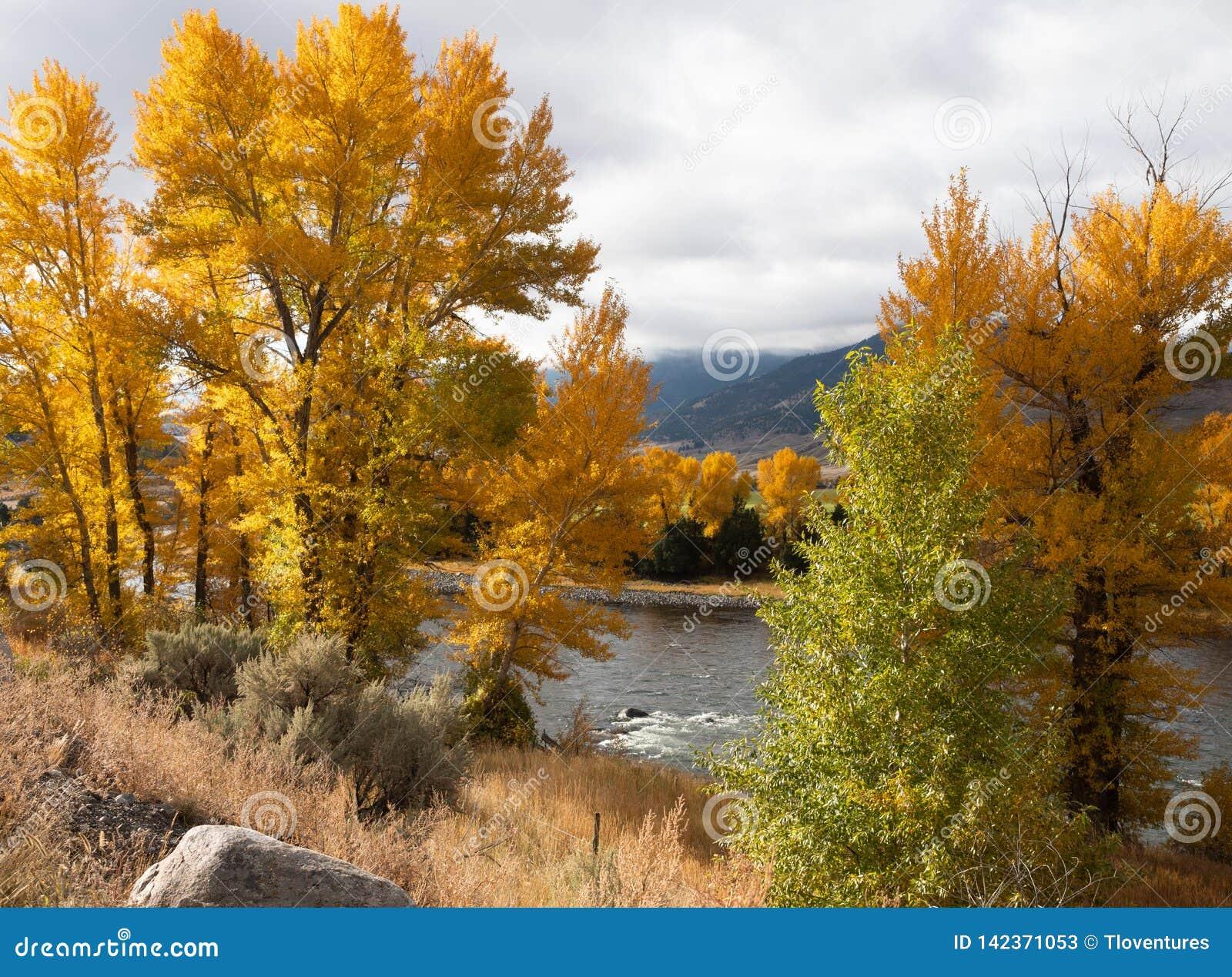 Drzewa z jesień liśćmi na brzeg Yellowstone rzeka
