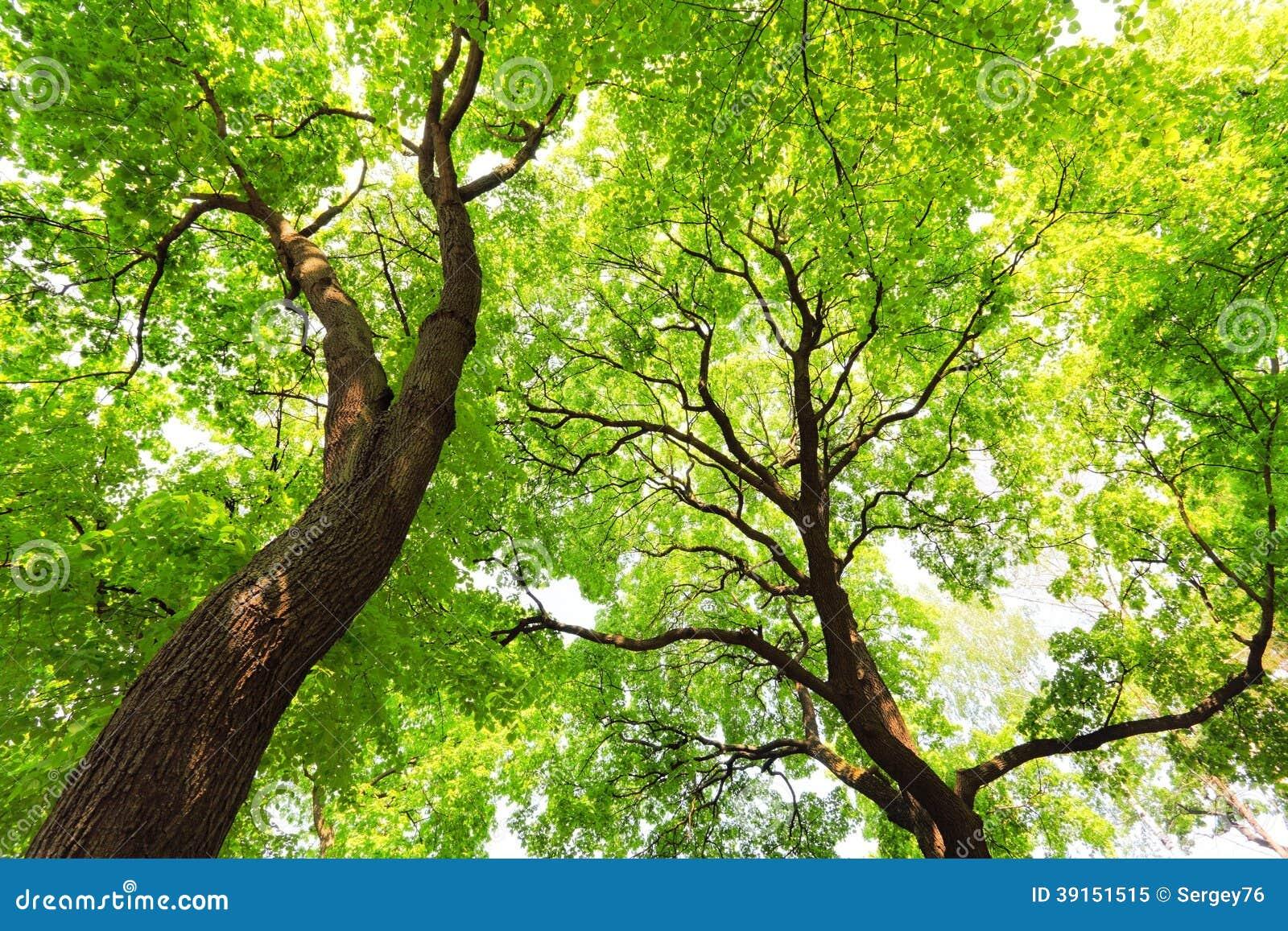 Drzewa z zielonym liścia baldachimem