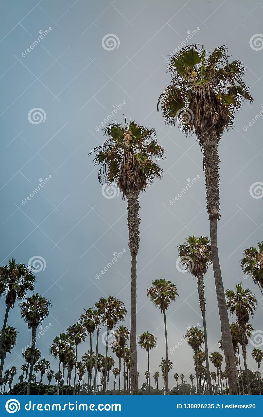 Drzewka Palmowe Galore