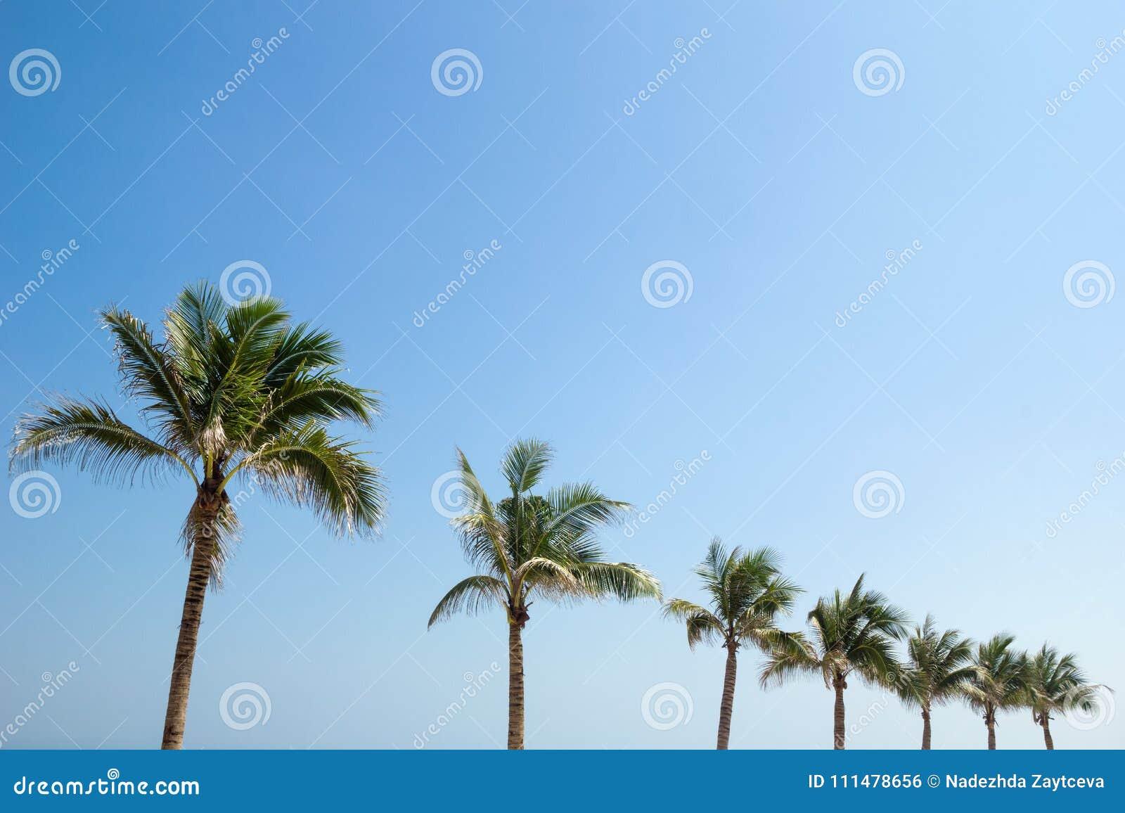 Drzewka palmowe na tle niebieskie niebo