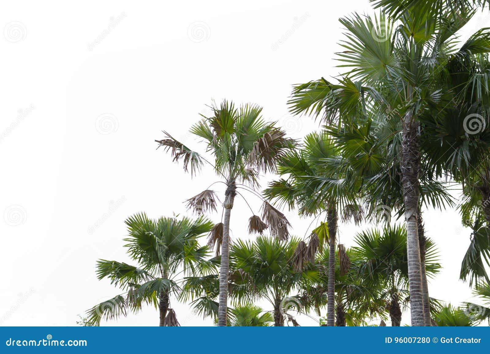 Drzewka palmowe odizolowywający na białym tle