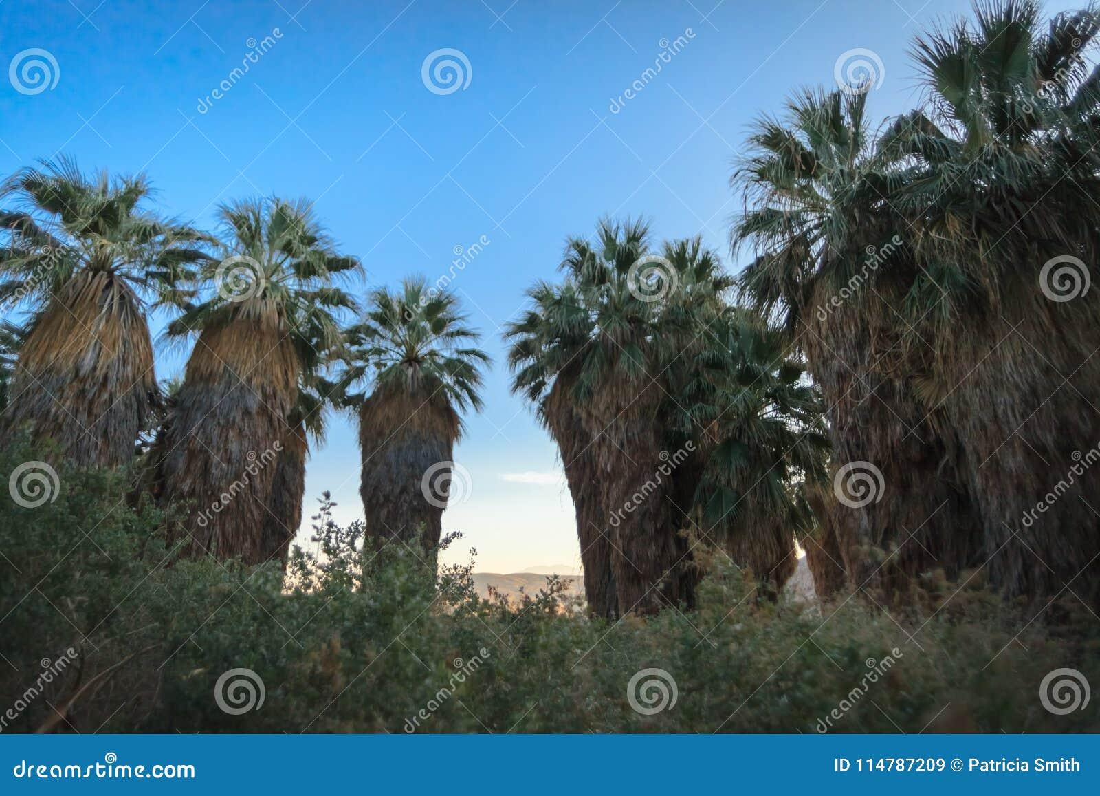 Drzewka palmowe przy Tysiąc palmy oazy prezerwami