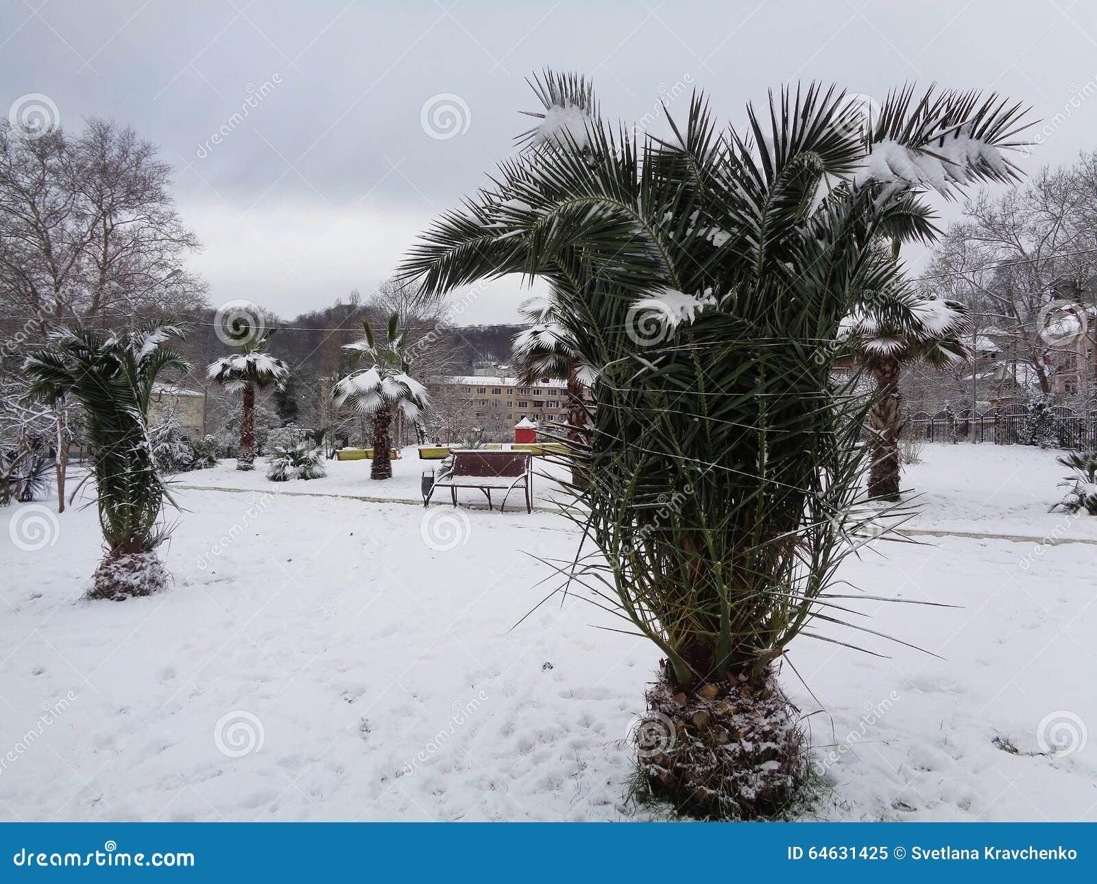 Drzewka palmowe w śniegu, Sochi, Rosja