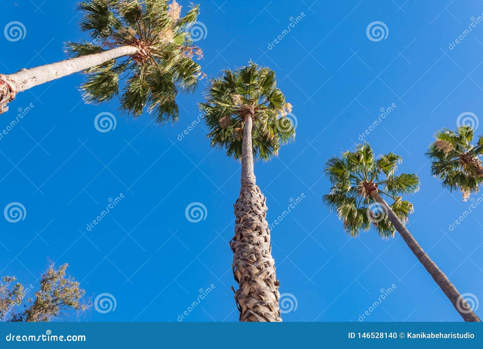 Drzewka palmowe z niebieskim niebem w pogodnym popołudniu