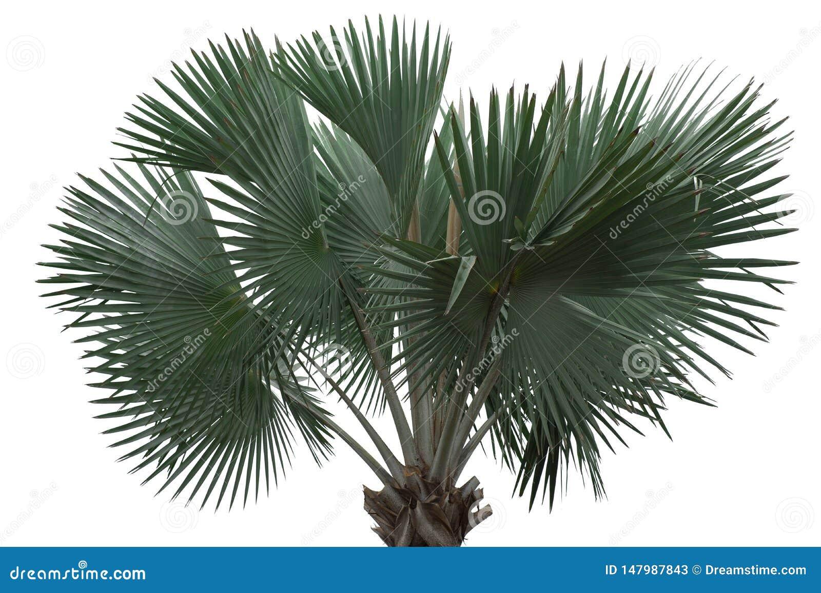 Drzewka palmowego odosobniony stan samotny