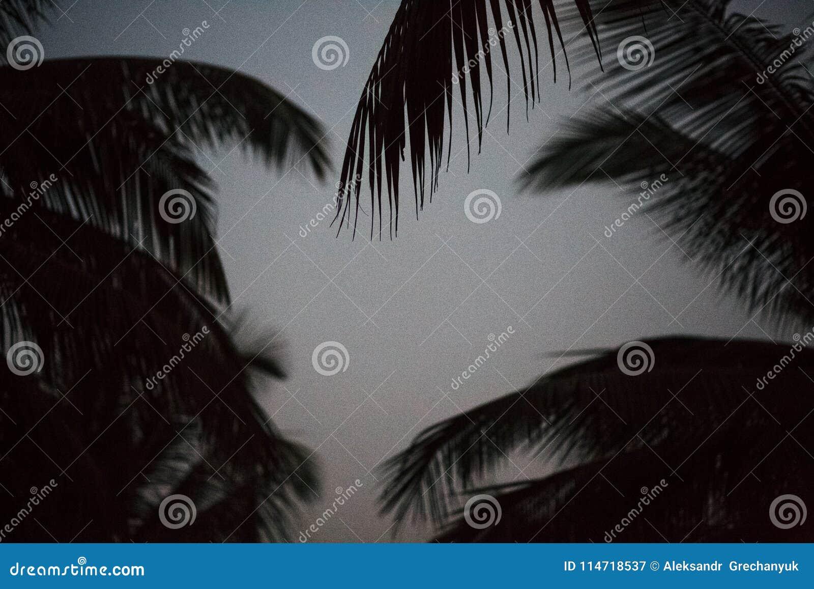 Drzewka palmowego tła cienia czarny i biały sylwetki liścia piękny koks na plażowym natury plamy zmroku gałąź wzorze na dniu przy