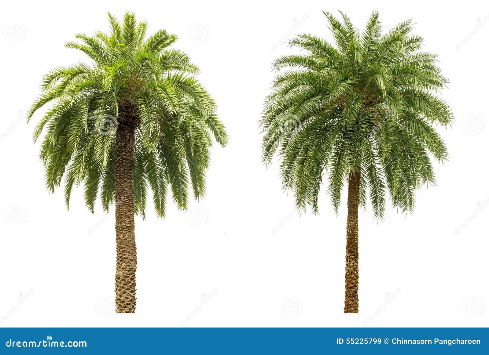 Drzewko palmowe odizolowywający