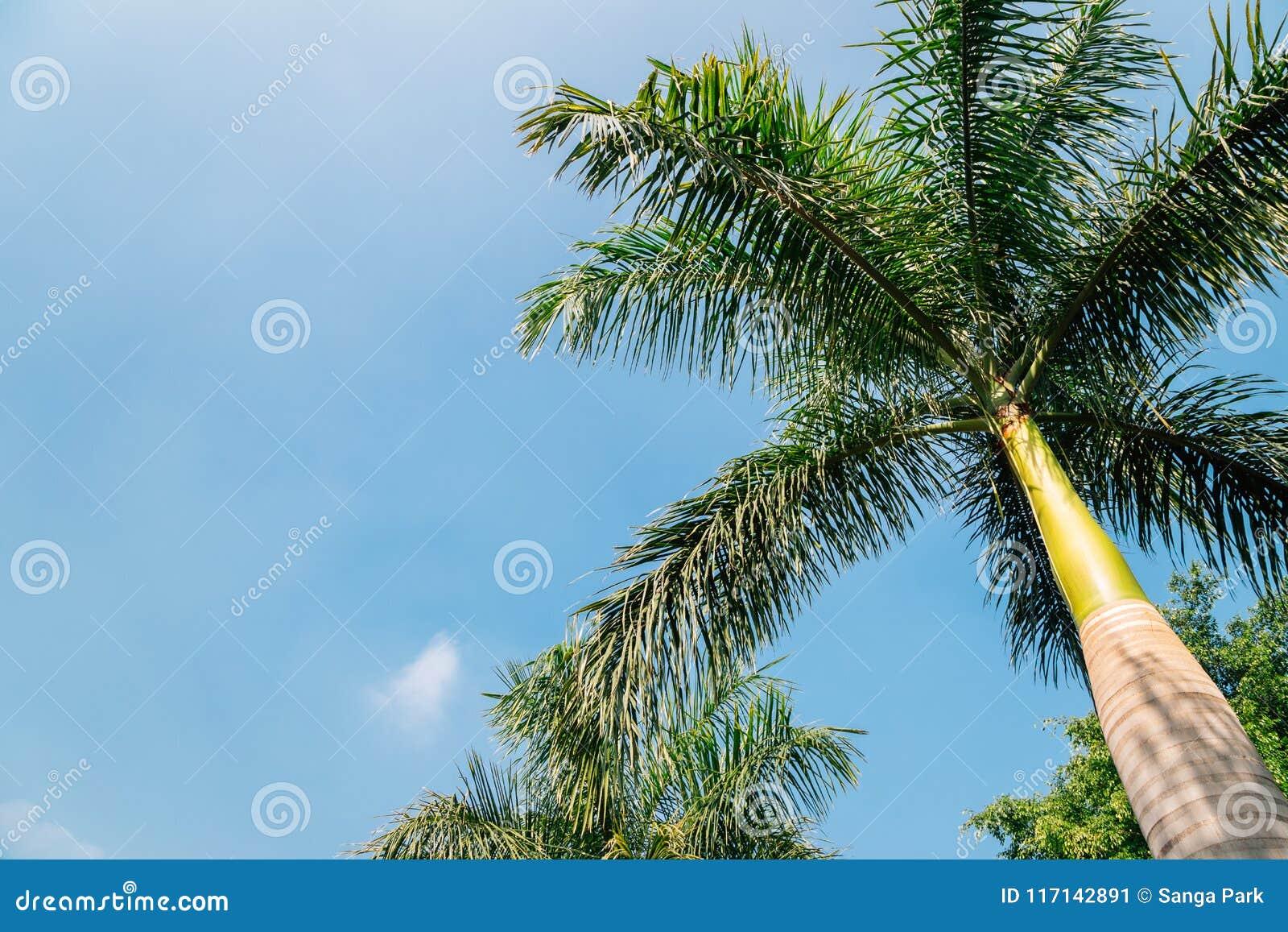 Drzewko palmowe przy Rajiv Gandhi parkiem w Udaipur, India