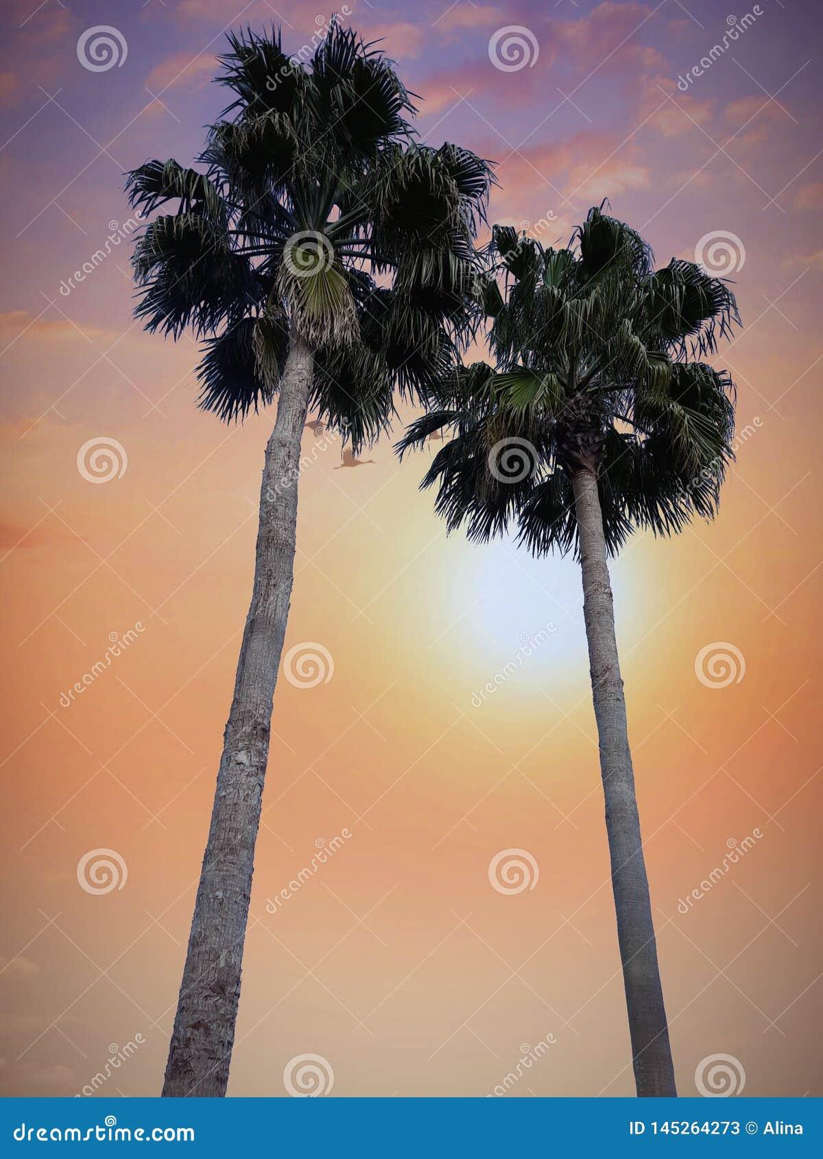 Drzewko palmowe zmierzchu spacer kwitnie pomarańczowego wieczór