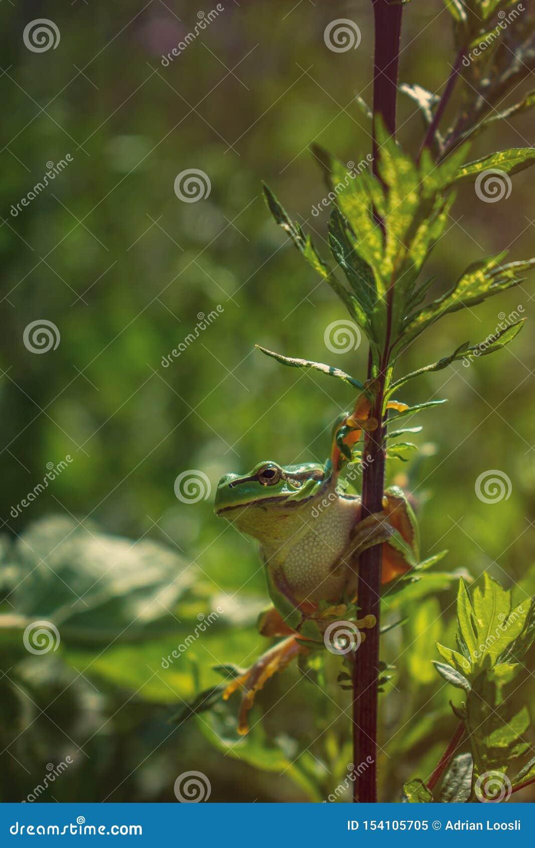 Drzewna żaba na roślina badylu