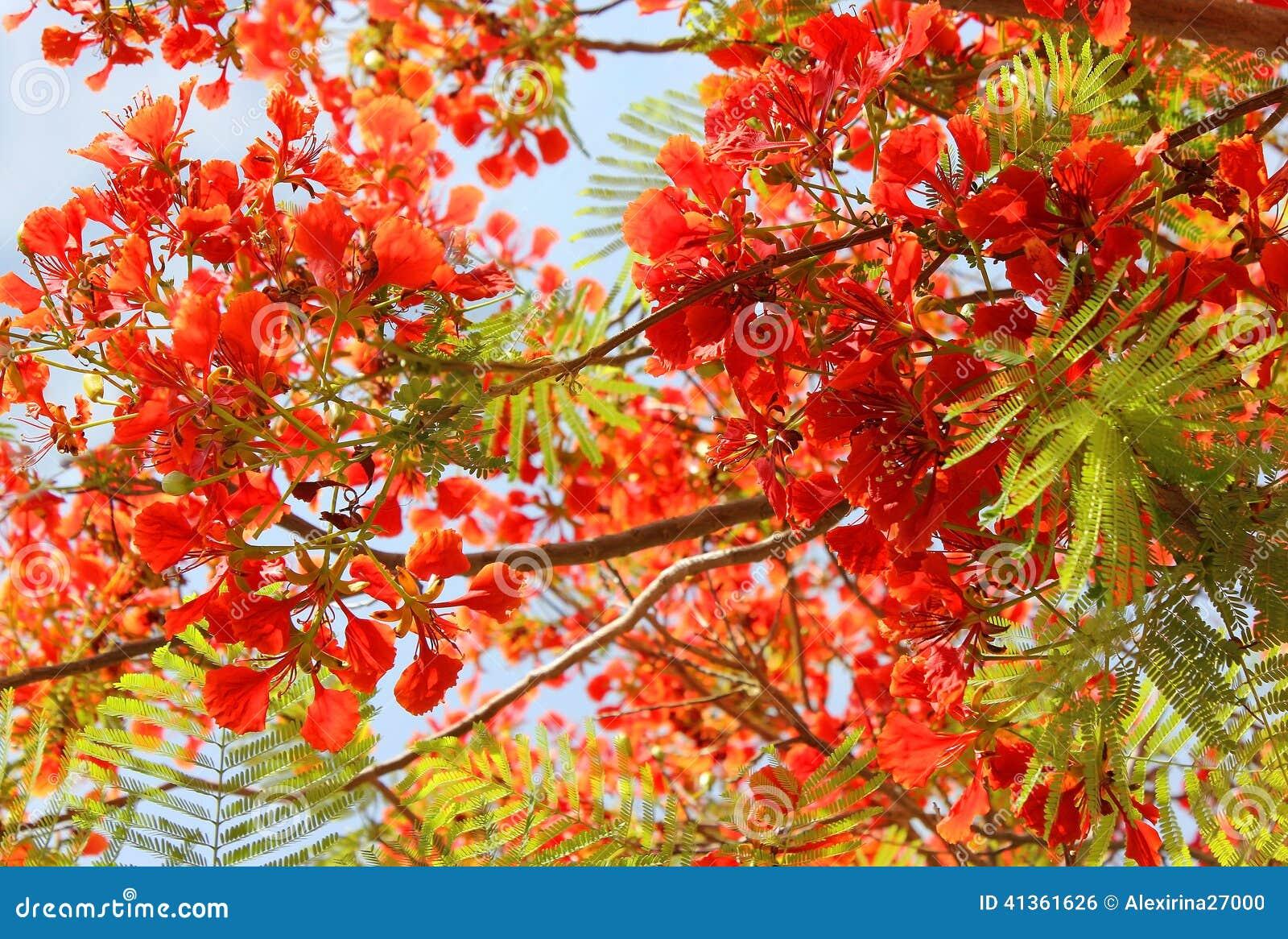 Drzewna czerwona akacja