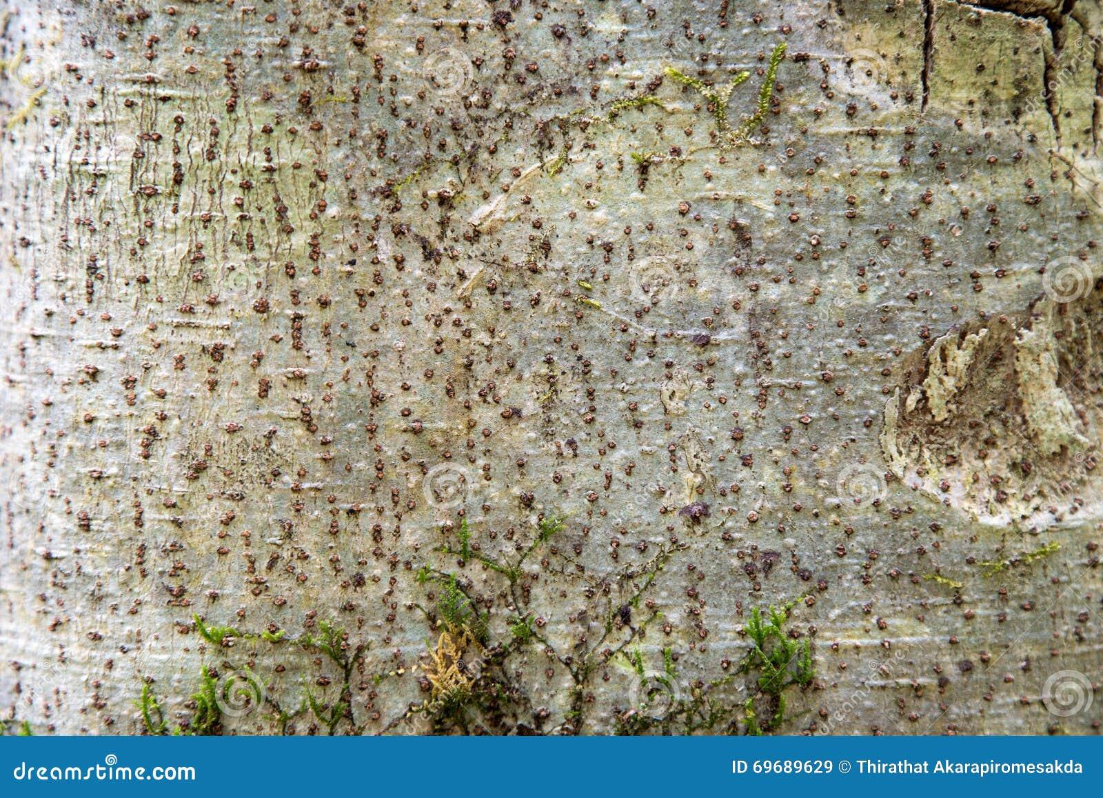 Drzewnej barkentyny texture/tło