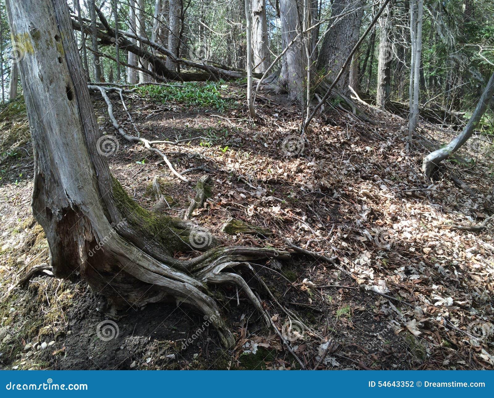 Drzewni korzenie 2 - Seaton ślad, Ontario, Kanada