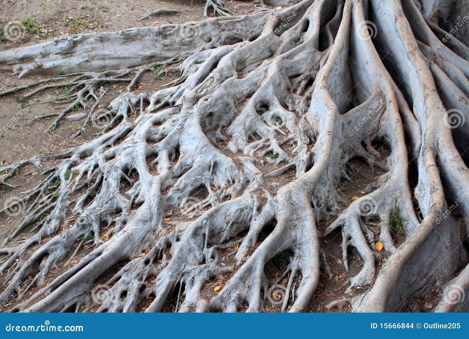 Drzewni starzejący się korzenie