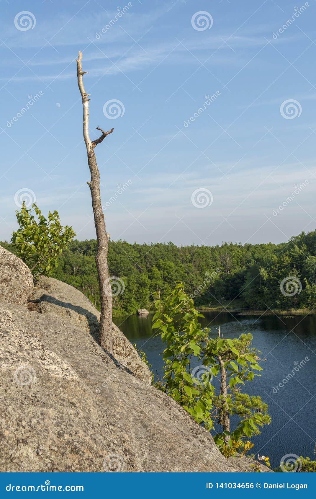 Drzewny fiszorek r z skalistej falezy