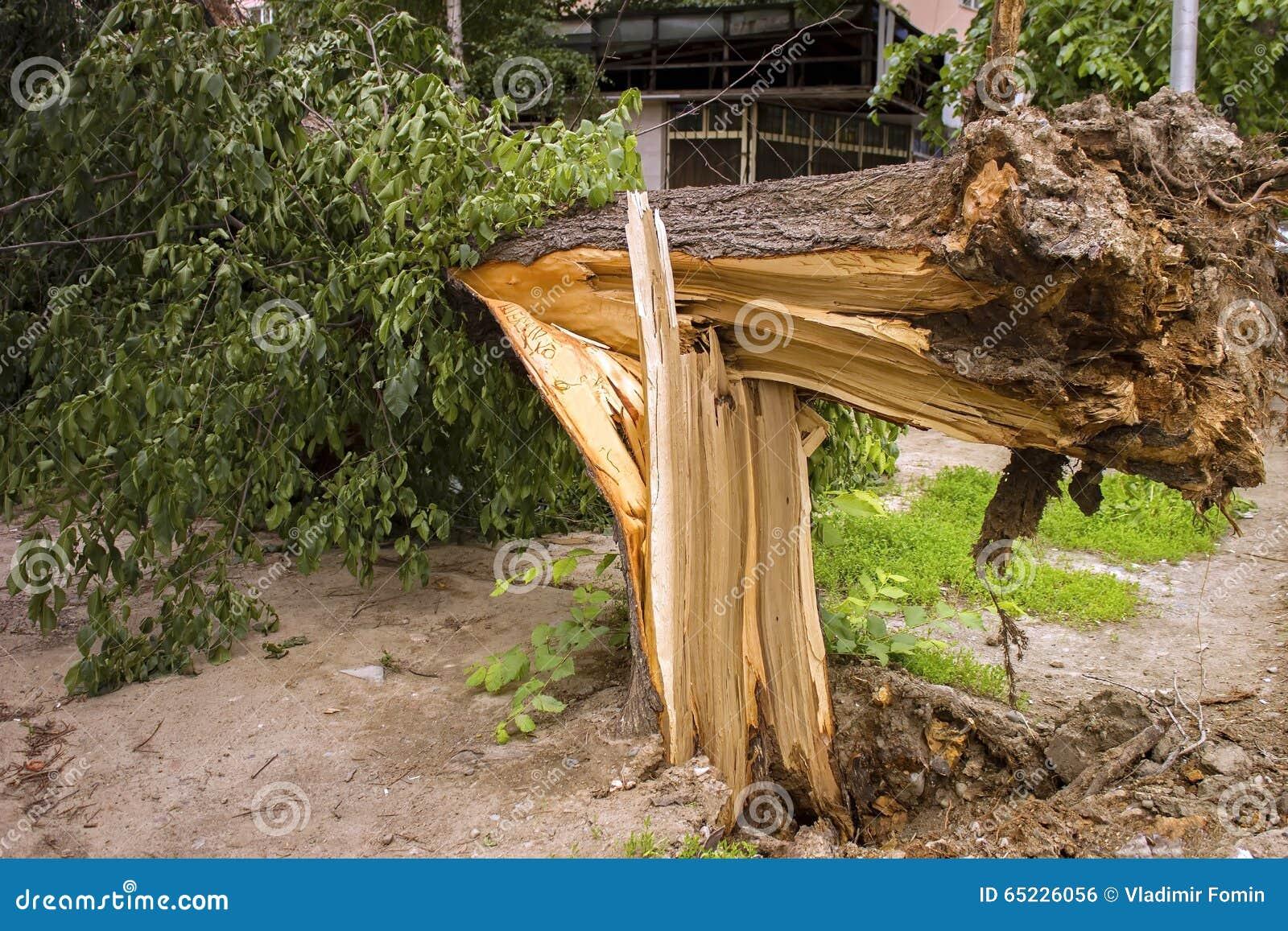 Drzewo łamający silnymi wiatrami