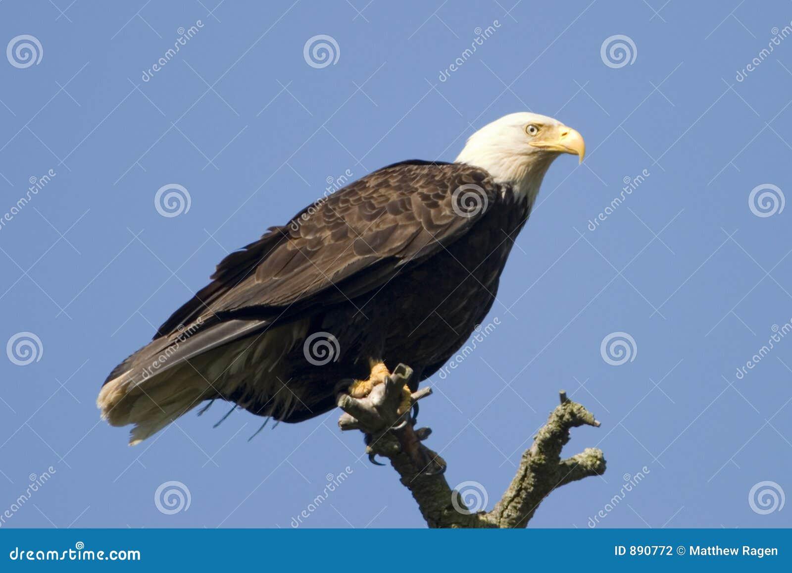 Drzewo, łysego orła