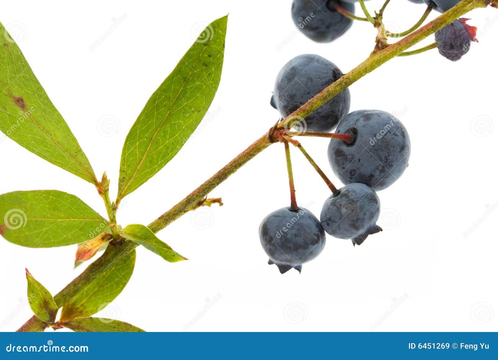 Drzewo blueberry