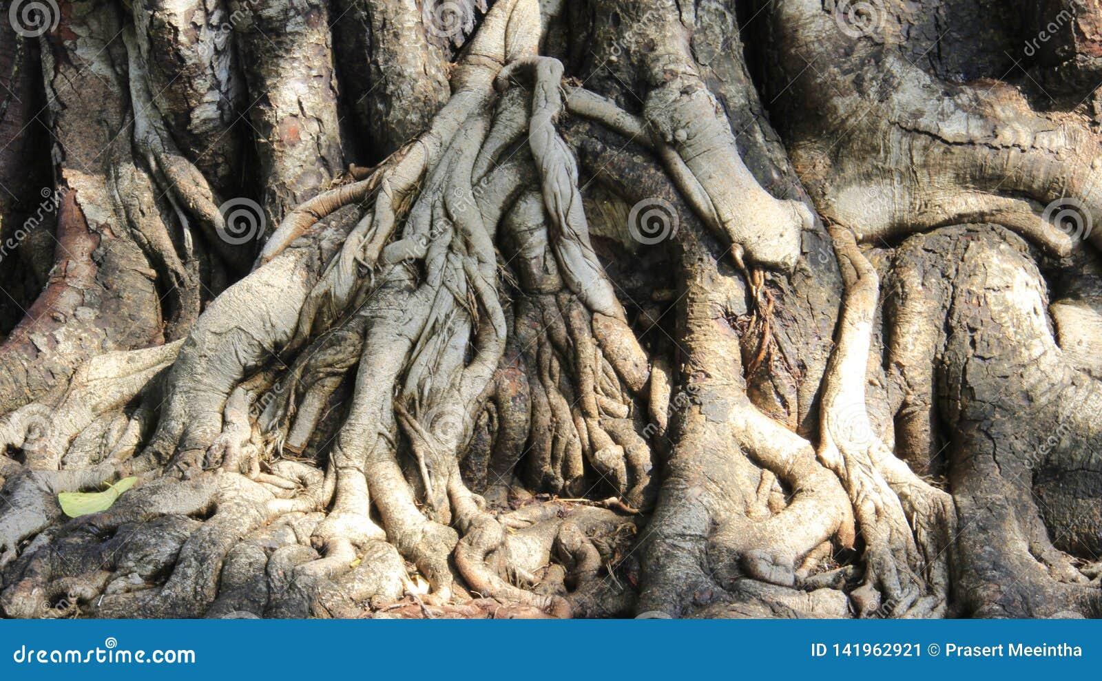 Drzewo korzenie I Drzewna barkentyna Szczegóły I natura kolor