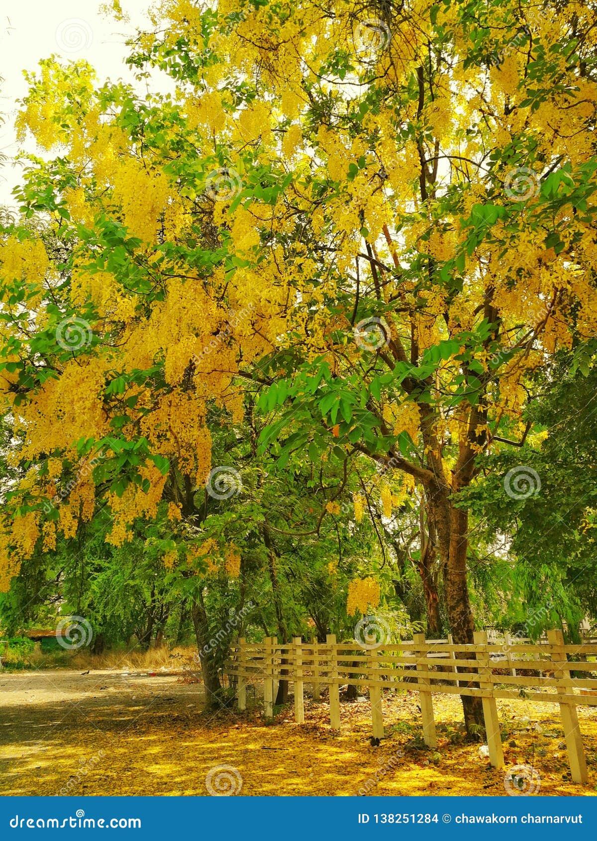 Drzewo królewiątko