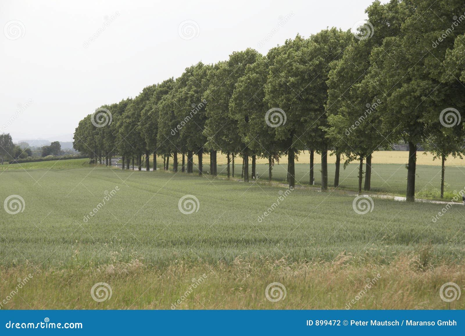 Drzewo na spacer