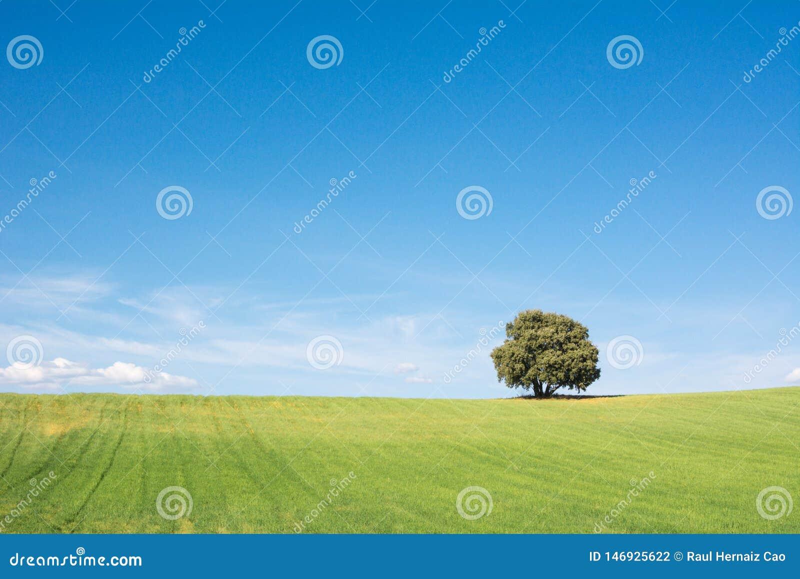Drzewo odizolowywający na zielonym polu, pod czystym niebieskim niebem