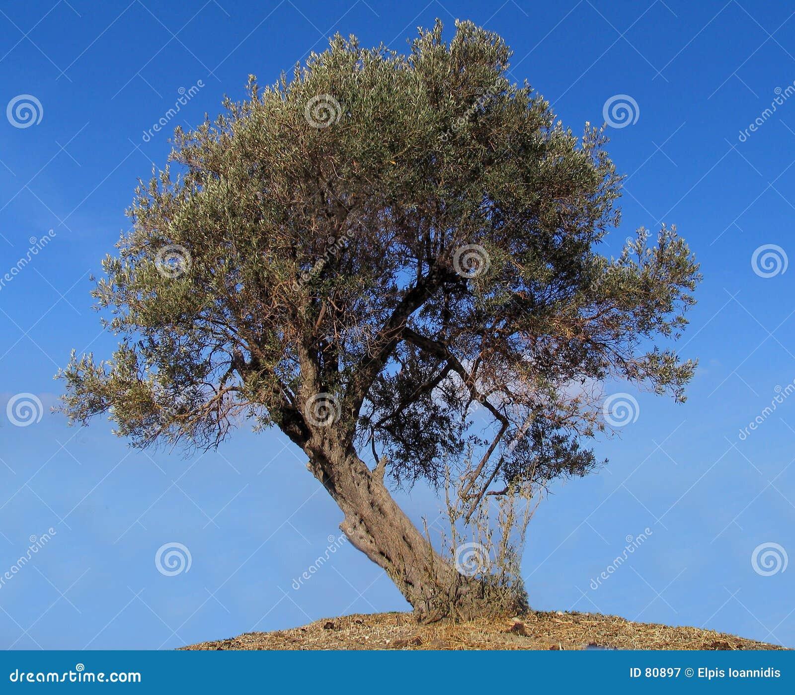 Drzewo oliwne