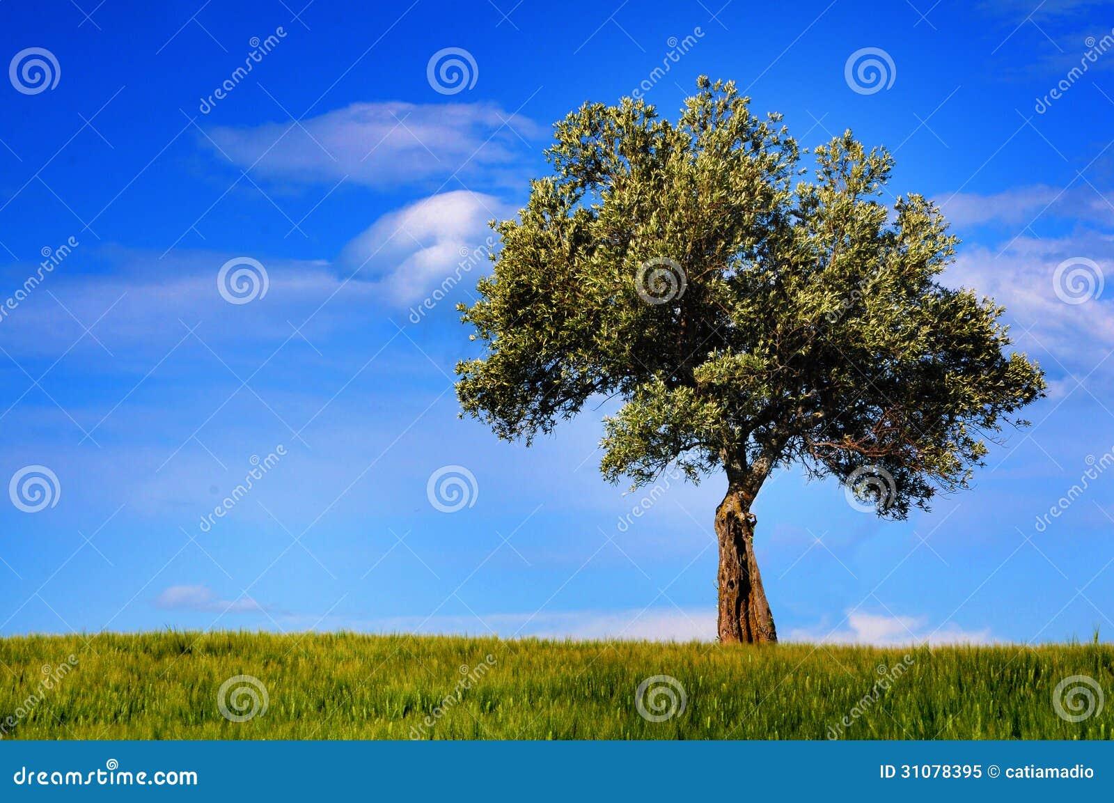 Drzewo oliwne krajobraz