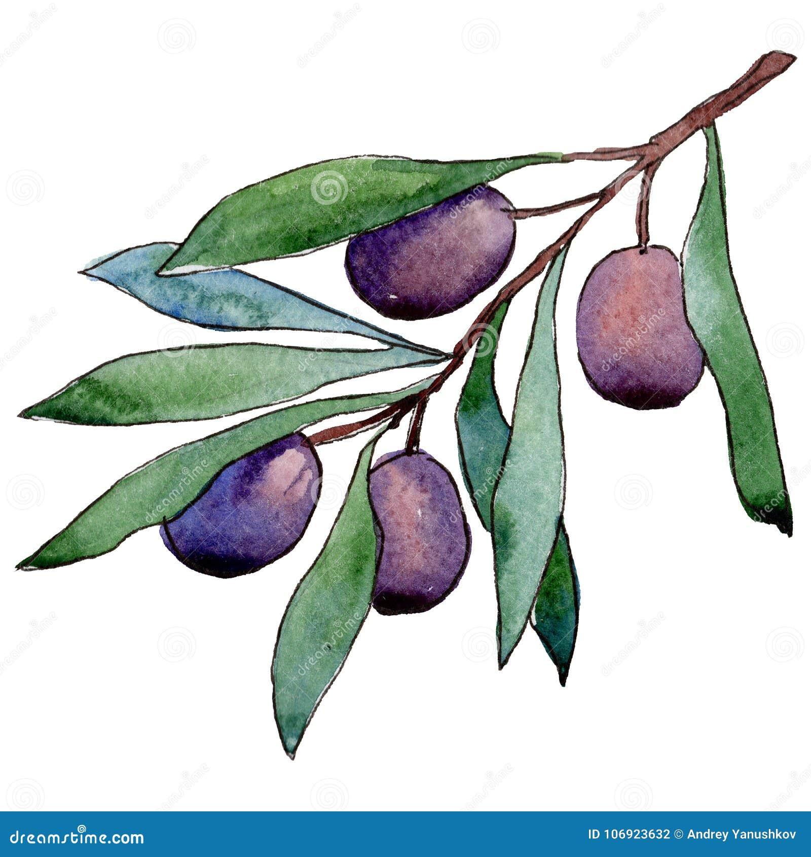 Drzewo oliwne w akwarela stylu odizolowywającym