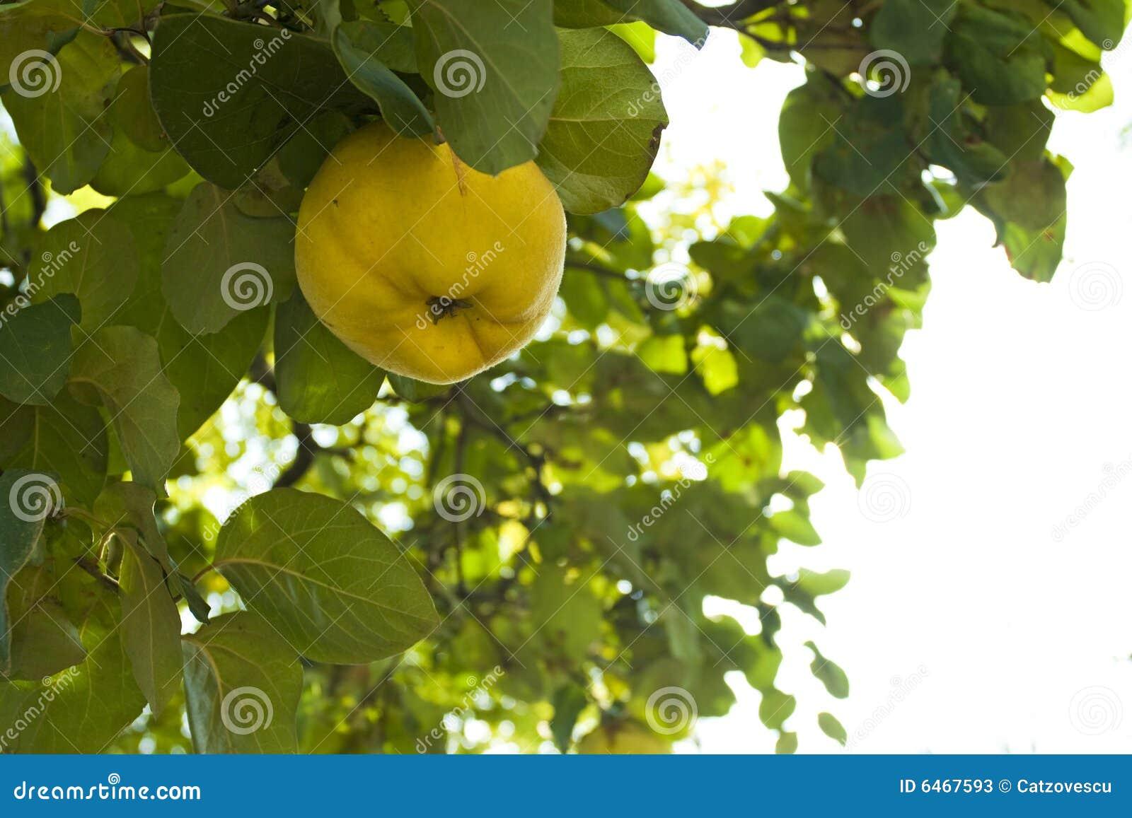 Drzewo pigwy