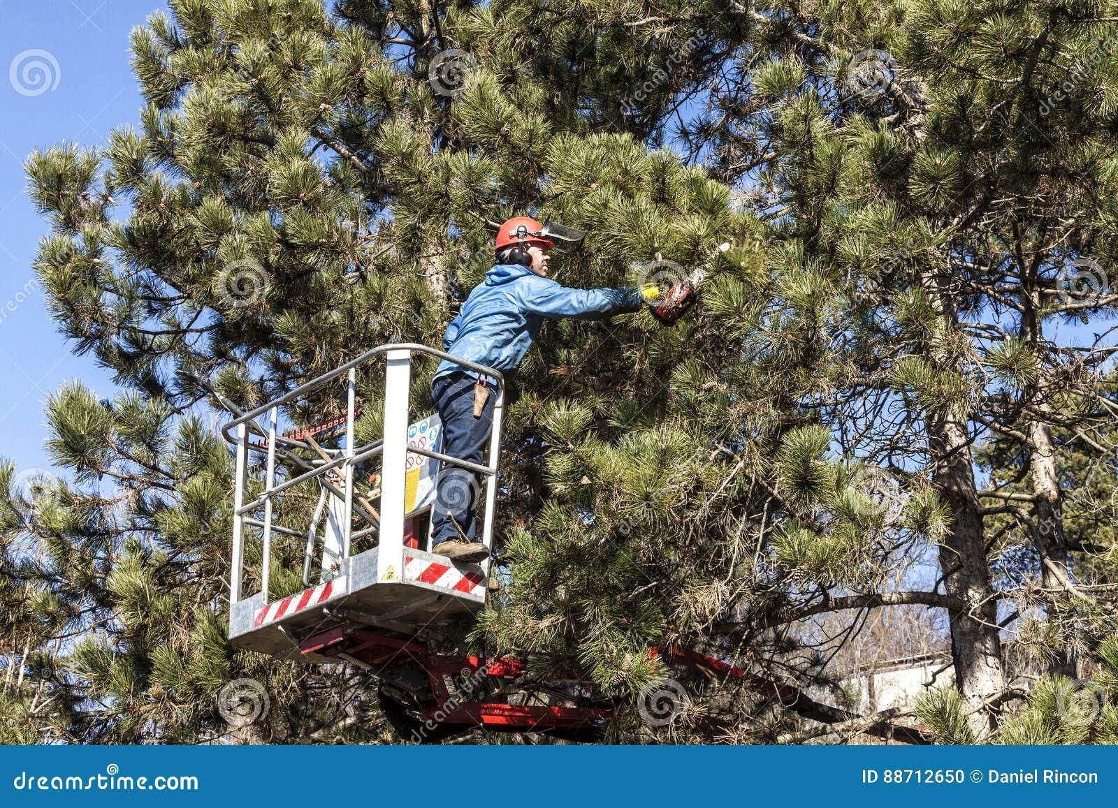 Drzewo przycina mężczyzna z piłą łańcuchową, stoi na machinalnej platformie na dużej wysokości między gałąź austriackie sosny,