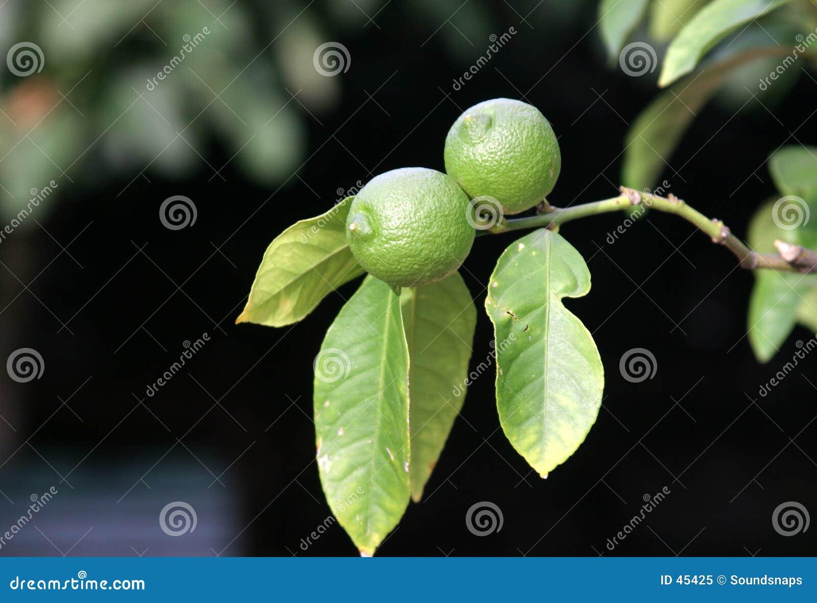Drzewo wapna