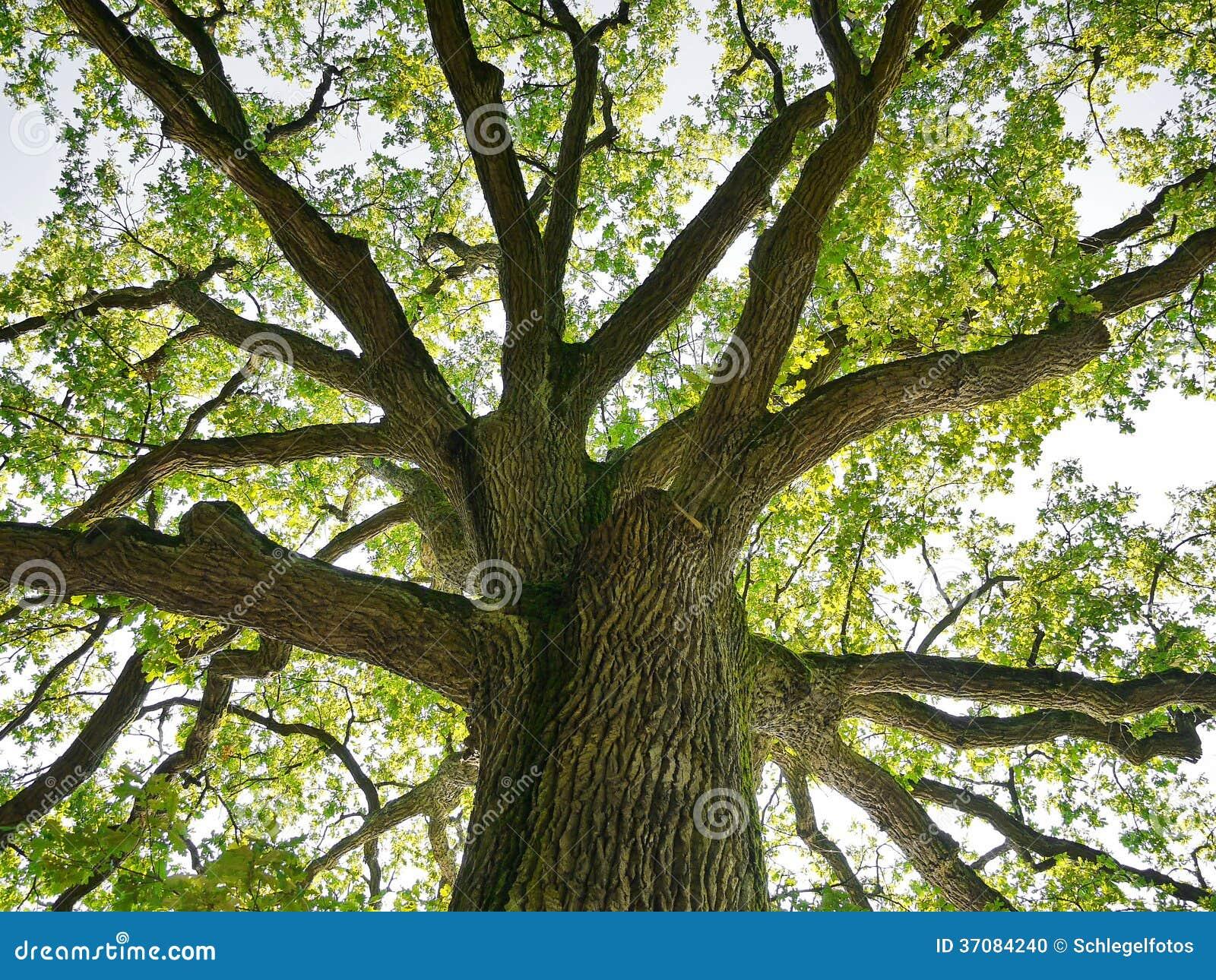 Download Drzewo wierzchołek w lesie zdjęcie stock. Obraz złożonej z bagażnik - 37084240