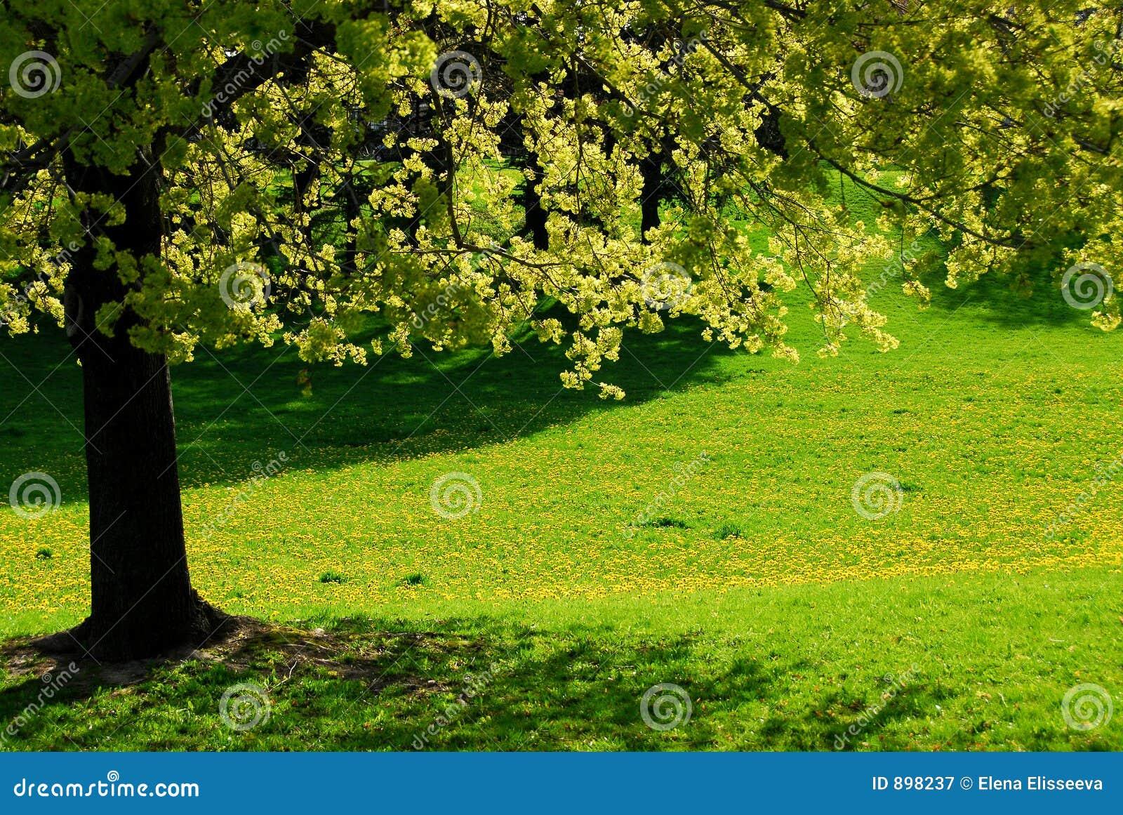 Drzewo wiosny