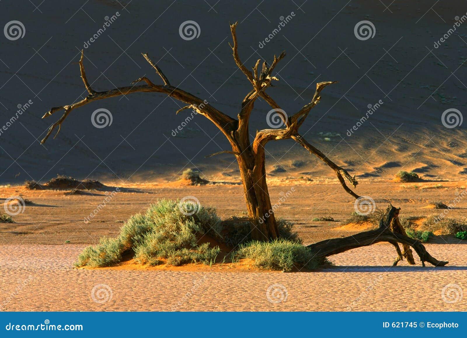 Drzewo wydm