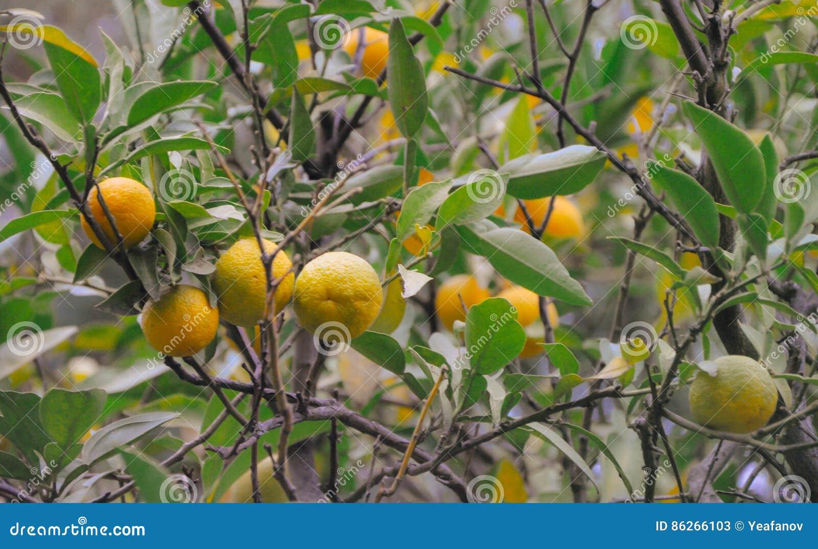 Drzewo z mandarynki owoc strzałem w rocznika filmu