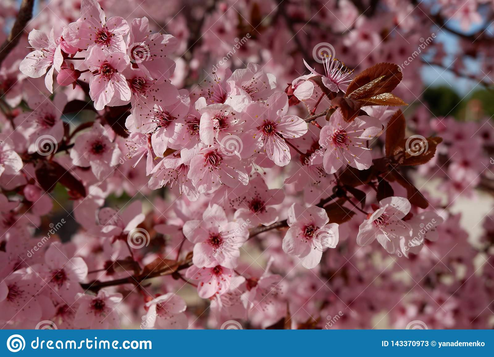 Japanese plum or cherry tree in blossom