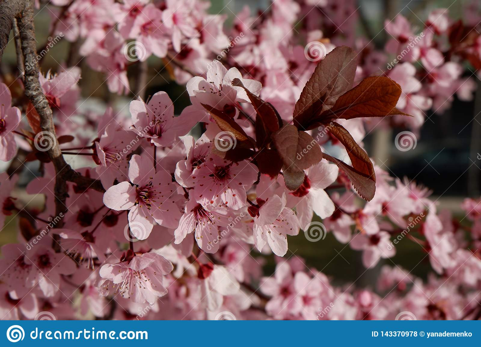 Close up on Japanese plum tree with tender pink flowers